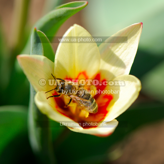 Bee and tulip flower