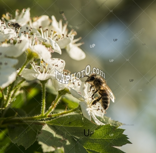 bee collects the nectar from the flowers of the hawthorn.