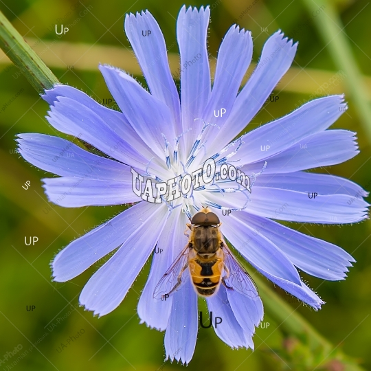 bee-jerk sits on a blue flower.