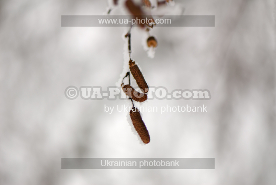 birch catkins in the snow