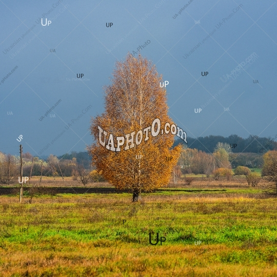 Birch tree with yellow foliage in the countryside on a dark sky