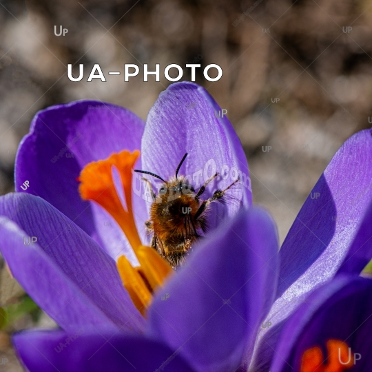 blooming decorative crocus purple flower and a bee collecting ne