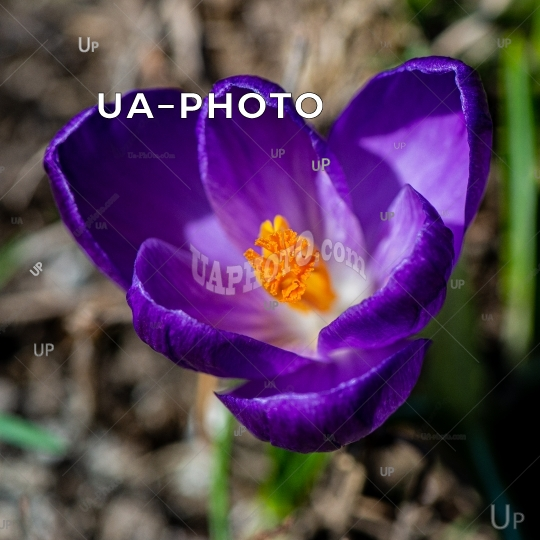 blooming purple ornamental crocus flower in a rural garden on a