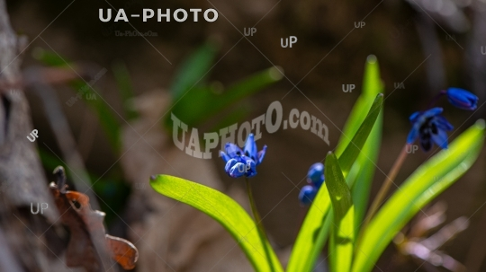 blooming scilla flowers of violet color against the background o