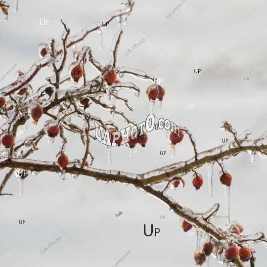 branches and rose hips in winter