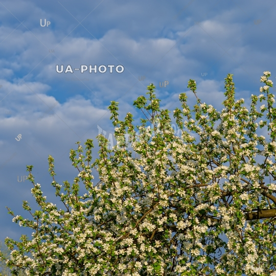 branches of a blossoming apple tree on a background of blue sky