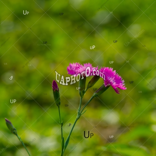 Carnation flowers on a green grass background.