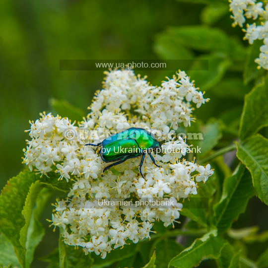 chafer beetle on a flower
