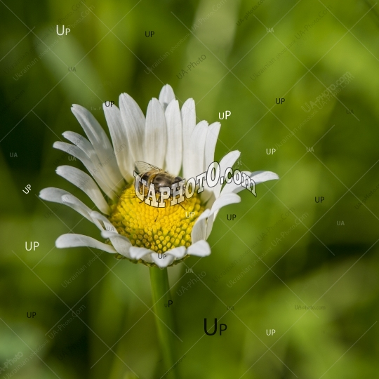 daisy field flower and a bee against a grass background.