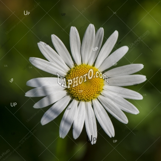 daisy field flower on a grass background.