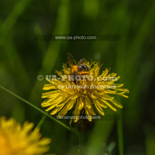 dandelion flower and a bee
