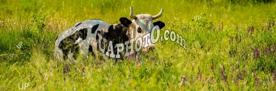 Domestic cow on pasture, in the afternoon in the meadow among th