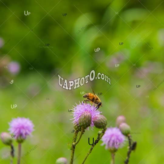 drone gathers the nectar from the thistle flower on the green me