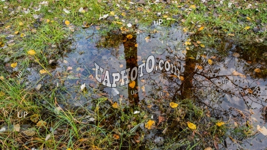 fallen yellow foliage and a puddle of water in the grass in the
