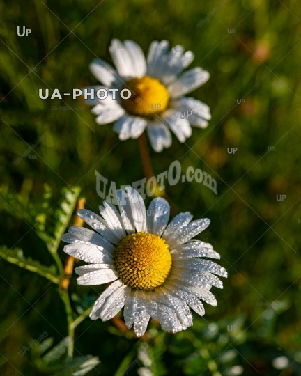 field daisy in the early morning on a meadow in dew drops.