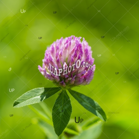 flower pink clover on blurred green background.