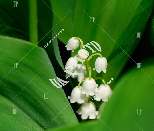 Flowers of lilies of the valley