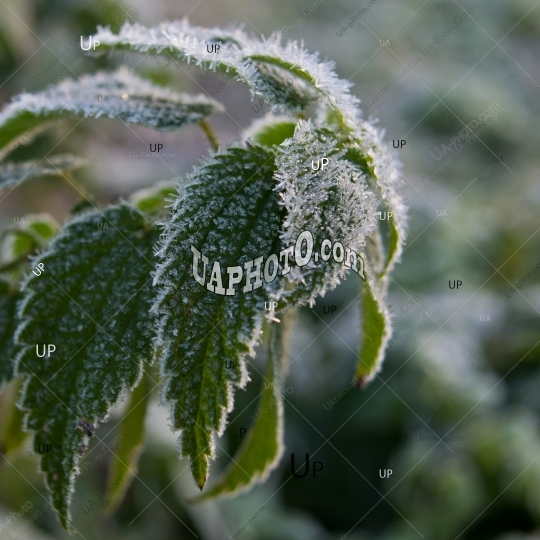 green foliage of nettle covered with hoarfrost.