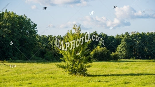 green tree on a meadow and a forest background.