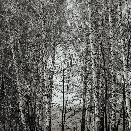 grove of birch trees with remnants of leaves on the branches.