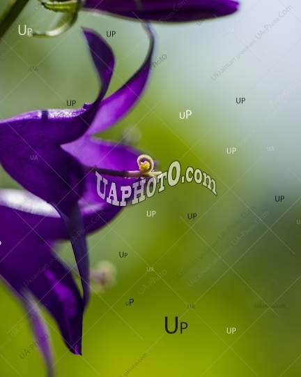 meadow of purple flowers on a green background of grass.