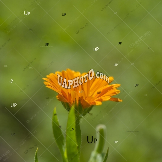orange flowers of a marigold on a blurred green background.