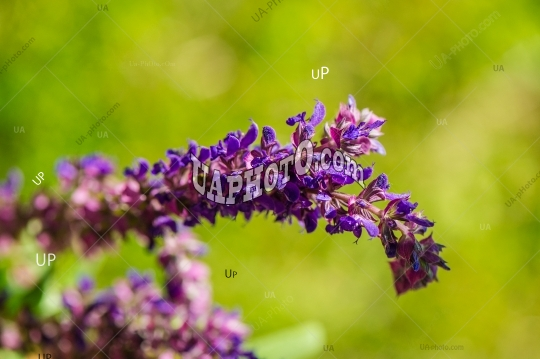 Photo: Summer violet wildflowers. Flowers. Summer day. Herbal.