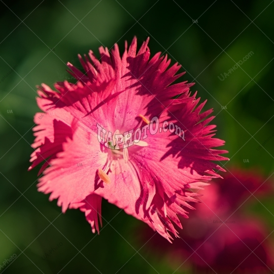 Pink carnation flower on a dark green