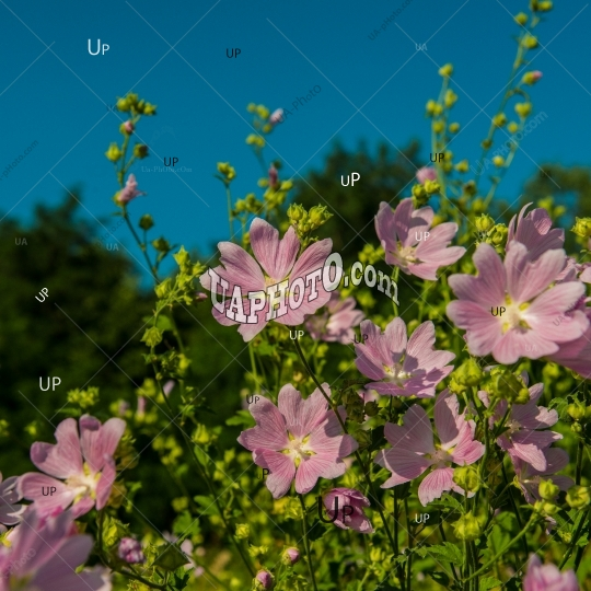 Pink mallow meadow flowers