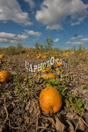 Ripe pumpkins in a field on a sunny day.