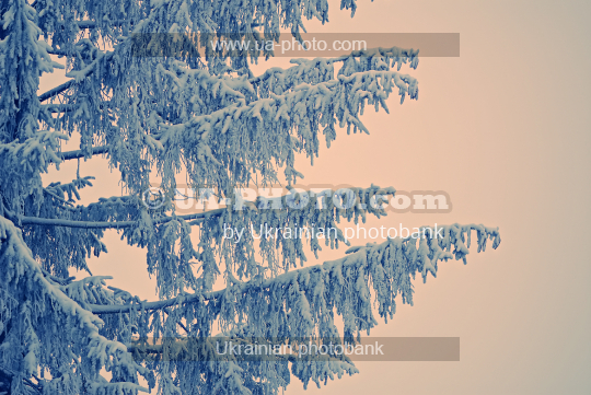 Spruce branches in the snow